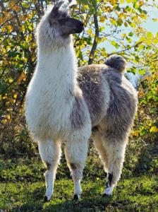 AFLA - Notre histoire - Lama