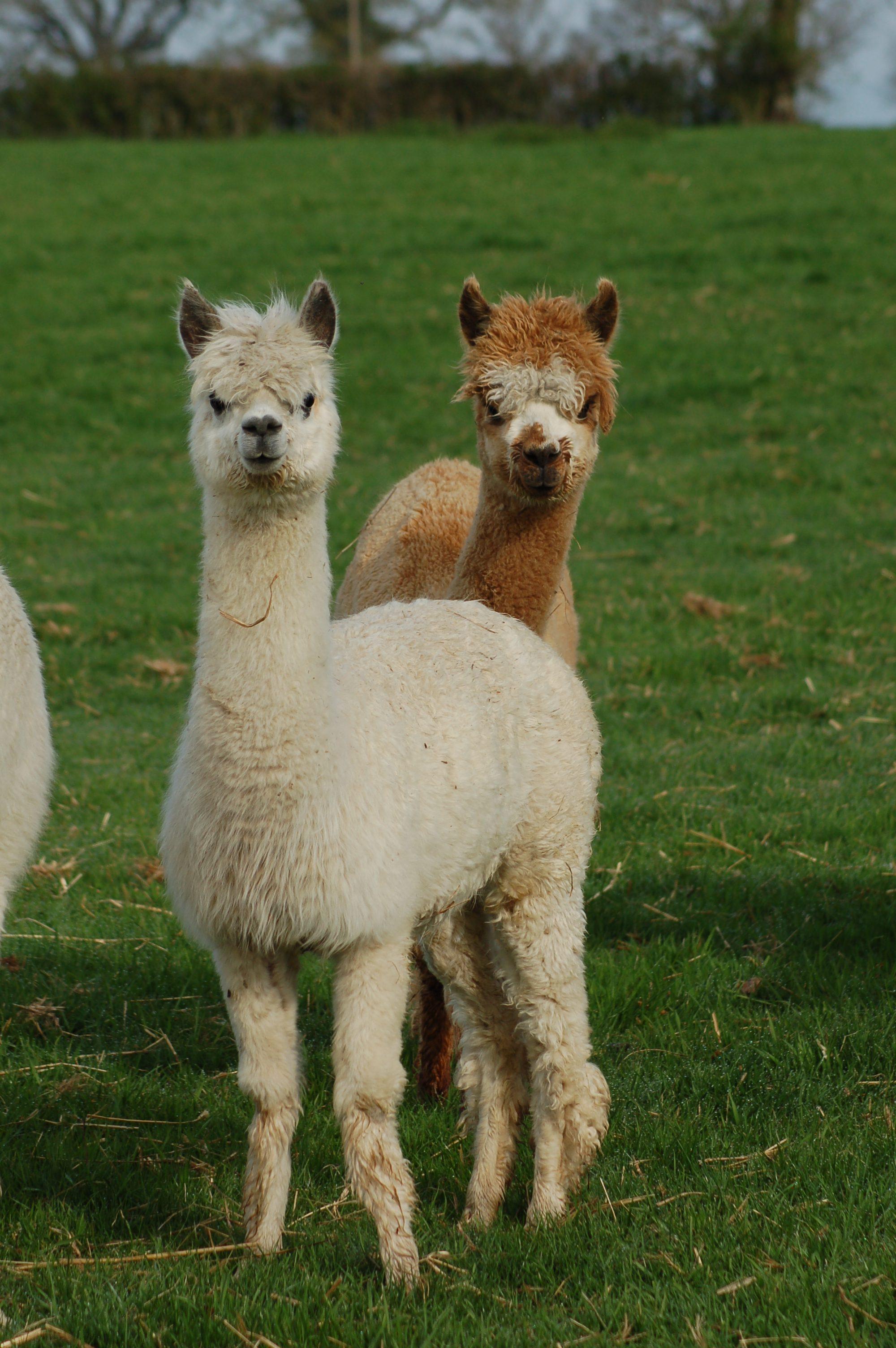 Les lamas du Tilloux