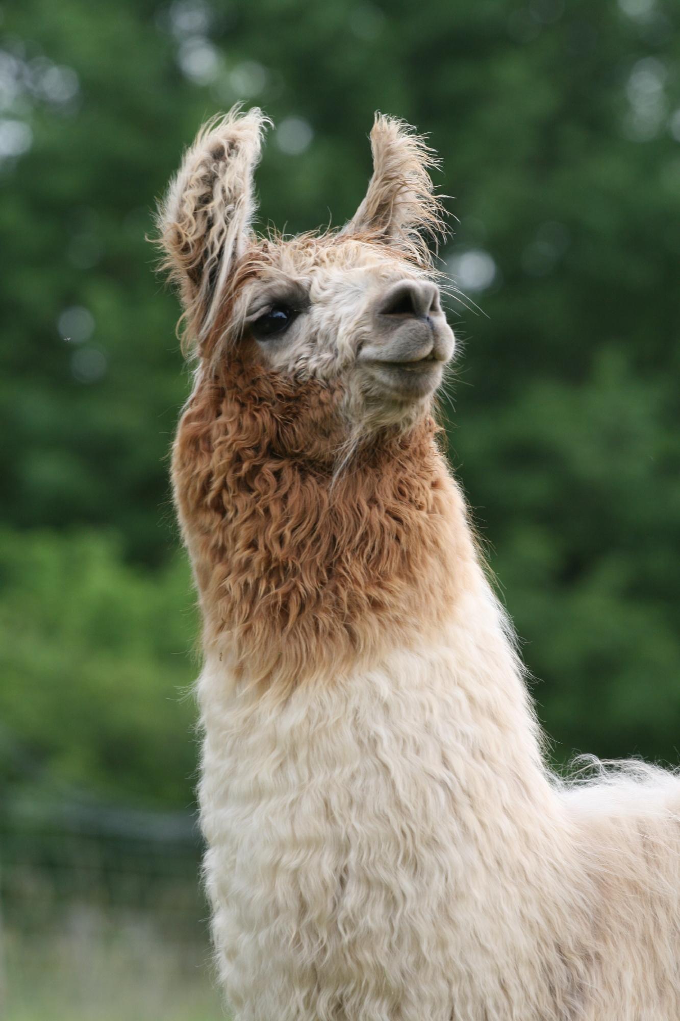 Les lamas des Granades