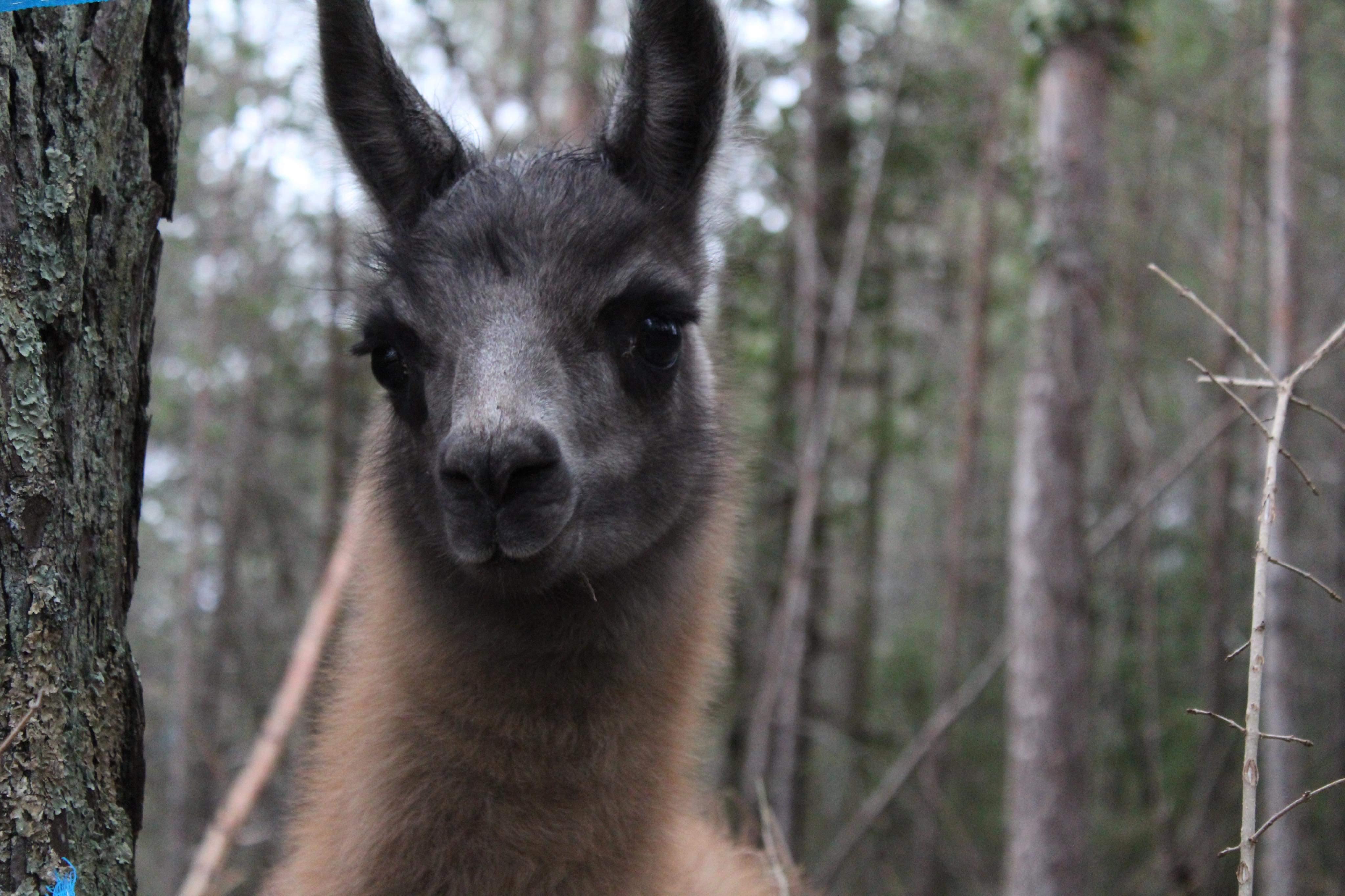 Elevage les lamas des gentilles canailles
